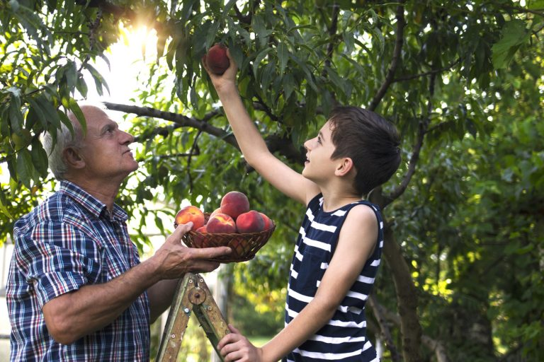 Annual Peach Tree Care In Spring & Fall