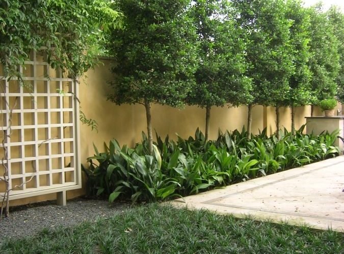Privacy Trees For Small Yards. privacy & Privacy Trees For Small Yards - Torres Tree Service